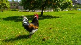 χάραξη της υπαίθριας, αστείας τρέχοντας ακολουθίας κοκκόρων κοτόπουλου απόθεμα βίντεο