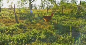 Χάραξη της υπαίθριας, τρέχοντας ακολουθίας κοκκόρων κοτόπουλου φιλμ μικρού μήκους