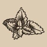 Χάραξη φύλλων μεντών Φρέσκια, φυσική αρωματική πρόσθετη ουσία στο τσάι στο ύφος σκίτσων επίσης corel σύρετε το διάνυσμα απεικόνισ Απεικόνιση αποθεμάτων