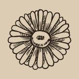 Χάραξη Chamomile Ένα όμορφο και χρήσιμο λουλούδι στο ύφος σκίτσων Διανυσματική απεικόνιση