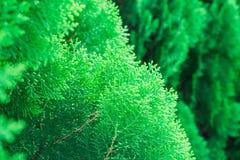 Χάστε επάνω τη σύσταση των μικρών πράσινων φύλλων κινεζικό Arborvitae ή Orientali Arborvitae Στοκ Φωτογραφίες