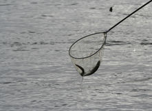 χέλι γόγγρων Στοκ φωτογραφία με δικαίωμα ελεύθερης χρήσης