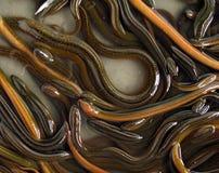 χέλι Στοκ φωτογραφία με δικαίωμα ελεύθερης χρήσης