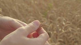 Χέρια αγροτών που κρατούν και που εξετάζουν τα ώριμα αυτιά σίτου σε έναν τομέα σε αργή κίνηση απόθεμα βίντεο