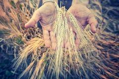 Χέρια από τον αρσενικό αγρότη με barlay Στοκ Εικόνα