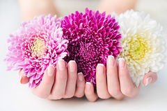 a8372439a38e Χέρια γυναικών με τις γαλλικές μαργαρίτες εκμετάλλευσης μανικιούρ στοκ  φωτογραφία με δικαίωμα ελεύθερης χρήσης