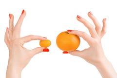 Χέρια γυναικών που κρατούν δύο πορτοκαλιά εσπεριδοειδή απομονωμένα με το clipp Στοκ εικόνα με δικαίωμα ελεύθερης χρήσης