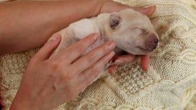 Χέρια γυναικών που κρατούν και που χαϊδεύουν το νεογέννητο σκυλί κουταβιών του Λαμπραντόρ φιλμ μικρού μήκους