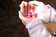 Χέρια γυναικών που κρατούν τα λουλούδια ανθών sakura ή κερασιών Στοκ φωτογραφίες με δικαίωμα ελεύθερης χρήσης