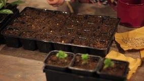 Χέρια γυναικών που φυτεύουν τους φυτικούς σπόρους απόθεμα βίντεο
