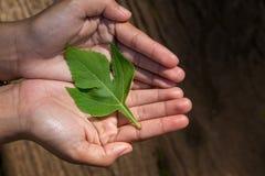 Χέρια γυναικών ` s που κρατούν τα πράσινα φύλλα στοκ φωτογραφία με δικαίωμα ελεύθερης χρήσης