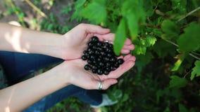 Χέρια ενός νέου θηλυκού αγρότη που κρατά τα φρέσκα μούρα μαύρη σταφίδα, βατόμουρο απόθεμα βίντεο