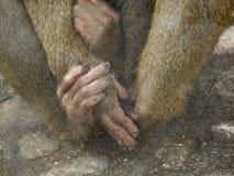Χέρια και πόδια του πιθήκου Στοκ Εικόνες