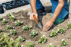 Χέρια κηπουρών με τα εργαλεία κήπων που φυτεύουν τα λουλούδια Στοκ Φωτογραφία