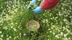 Χέρια κηπουρών που επιλέγουν τα φρέσκα chamomile ιατρικά λουλούδια απόθεμα βίντεο