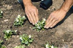 Χέρια κηπουρών που φυτεύουν τα λουλούδια Στοκ φωτογραφία με δικαίωμα ελεύθερης χρήσης