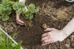 Χέρια κηπουρών που φυτεύουν τη φράουλα Στοκ Φωτογραφία