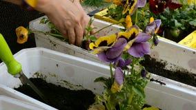 Χέρια κηπουρών που φυτεύουν pansies ή tricolor Viola στο δοχείο λουλουδιών με το ρύπο ή το χώμα φιλμ μικρού μήκους