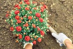 Χέρια κοριτσιών ` s που φυτεύουν έναν θάμνο των κόκκινων λουλουδιών σε ένα έδαφος Στοκ εικόνα με δικαίωμα ελεύθερης χρήσης