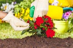 Χέρια με τα γάντια που ψεκάζουν τα κόκκινα λουλούδια στοκ εικόνες