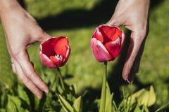 Χέρια με την τουλίπα Στοκ Φωτογραφία