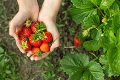 Χέρια με τις φρέσκες φράουλες στον κήπο στοκ εικόνες