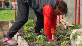 Χέρια μιας ανώτερης γυναίκας που φυτεύει τις ντομάτες απόθεμα βίντεο