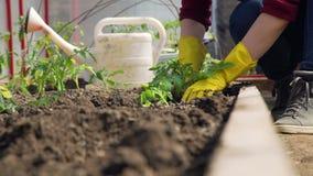 Χέρια μιας γυναίκας που φυτεύει τις ντομάτες απόθεμα βίντεο