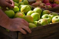 Χέρια που επιλέγουν τα μήλα Στοκ Φωτογραφία