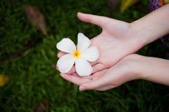Χέρια που επιλέγουν το φρέσκο λουλούδι frangipani Στοκ Εικόνες