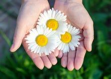 Χέρια που κρατούν διάφορα άσπρα camomile λουλούδια Στοκ εικόνα με δικαίωμα ελεύθερης χρήσης