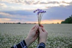 Χέρια που κρατούν μια μικρή ανθοδέσμη των cornflowers στα πλαίσια του ουρανού βραδιού και ενός τομέα λουλουδιών Στοκ εικόνες με δικαίωμα ελεύθερης χρήσης