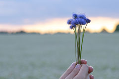Χέρια που κρατούν μια μικρή ανθοδέσμη των cornflowers στα πλαίσια του ουρανού βραδιού και ενός τομέα λουλουδιών Στοκ εικόνα με δικαίωμα ελεύθερης χρήσης