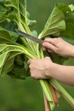 Χέρια που κόβουν τα φύλλα του ρεβεντιού Στοκ Εικόνες