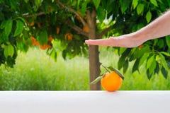 Χέρια που σώζουν τα πορτοκαλιά φρούτα στο υπόβαθρο του πορτοκαλιού δέντρου Στοκ εικόνα με δικαίωμα ελεύθερης χρήσης