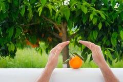 Χέρια που σώζουν τα πορτοκαλιά φρούτα στο υπόβαθρο του πορτοκαλιού δέντρου Στοκ Εικόνα