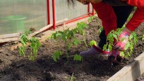 Χέρια που φυτεύουν μια οργανική ντομάτα απόθεμα βίντεο