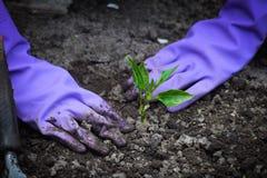 Χέρια που φυτεύουν τα σπορόφυτα πιπεριών στο έδαφος Στοκ Εικόνες
