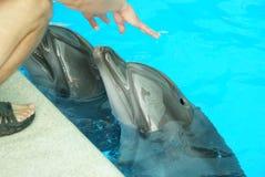 Χέρια προσοχής δελφινιών Στοκ εικόνες με δικαίωμα ελεύθερης χρήσης