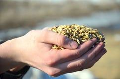 Χέρια σιταριού Στοκ φωτογραφία με δικαίωμα ελεύθερης χρήσης
