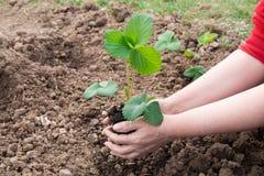 Χέρια της γυναίκας που φυτεύει τις φράουλες Στοκ εικόνα με δικαίωμα ελεύθερης χρήσης