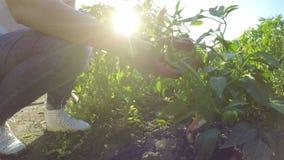 Χέρια του αγρότη γυναικών στην καυτή φυτεία πιπεριών που ελέγχει το χώμα - απόθεμα βίντεο