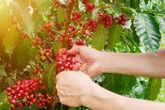 Χέρια φασολιών καφέ κερασιών που συγκομίζουν, arabica μούρα καφέ Στοκ Φωτογραφίες