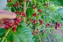 Χέρια φασολιών καφέ κερασιών που συγκομίζουν, arabica μούρα καφέ Στοκ εικόνες με δικαίωμα ελεύθερης χρήσης