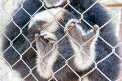 Χέρια Gibbon κλουβιών στοκ εικόνα