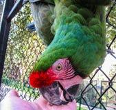 Χέρι δαγκώματος Macaw Στοκ εικόνα με δικαίωμα ελεύθερης χρήσης