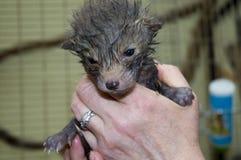 χέρι αλεπούδων μωρών vulpes Στοκ φωτογραφία με δικαίωμα ελεύθερης χρήσης