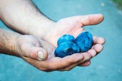 Χέρι ατόμων που κρατά τα φρέσκα δαμάσκηνα Στοκ Φωτογραφία