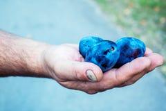 Χέρι ατόμων που κρατά τα φρέσκα δαμάσκηνα Στοκ φωτογραφία με δικαίωμα ελεύθερης χρήσης