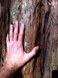 Χέρι ατόμων ` s σχετικά με το δέντρο redwood Στοκ εικόνες με δικαίωμα ελεύθερης χρήσης